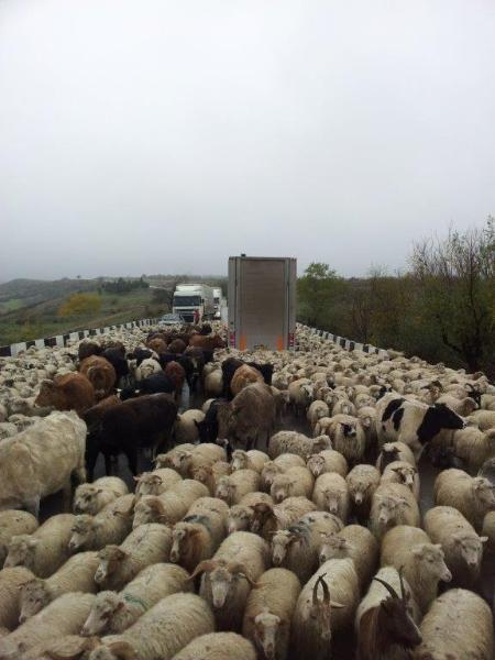 Livestock-trailer-12